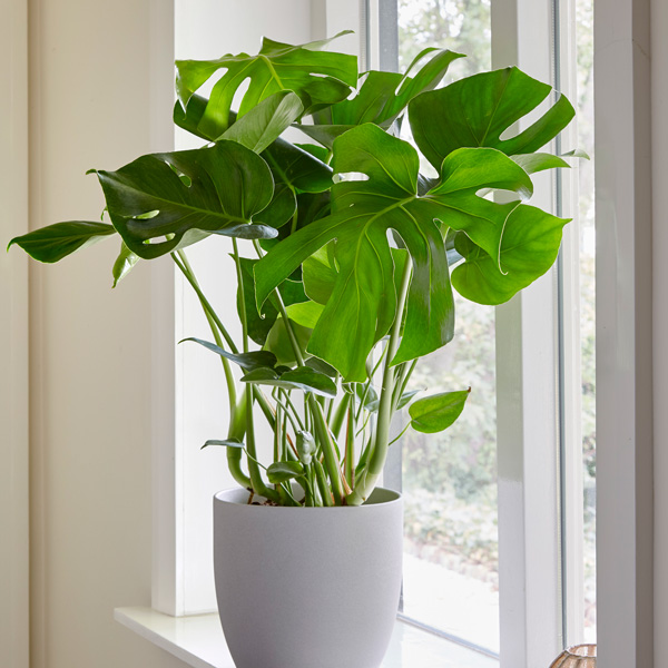 70 cm Monstera Deliciosa | Swiss Cheese Plant | 21cm Pot | By Plant Theory