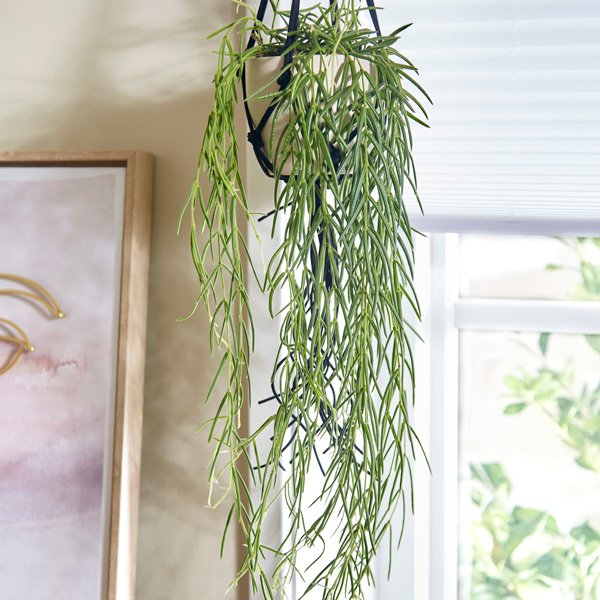 Hoya Linearis | 14cm Hanging Pot | By Plant Theory