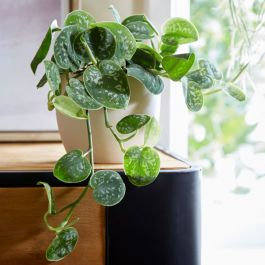 Satin Pothos | Scindapsus pictus 'Argyraeus' | 15cm Hanging Pot | By Plant Theory