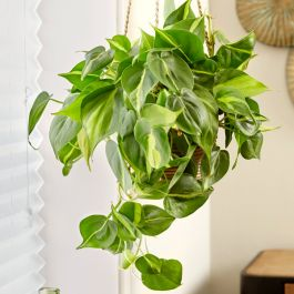 Philodendron Scandens 'Brasil' | 15cm Hanging Pot | By Plant Theory