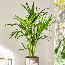 80cm Kentia Palm | Howea Forsteriana | 17cm Pot | By Plant Theory