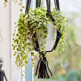 String of Turtles | Peperomia prostrata | 14cm Hanging Pot | By Plant Theory