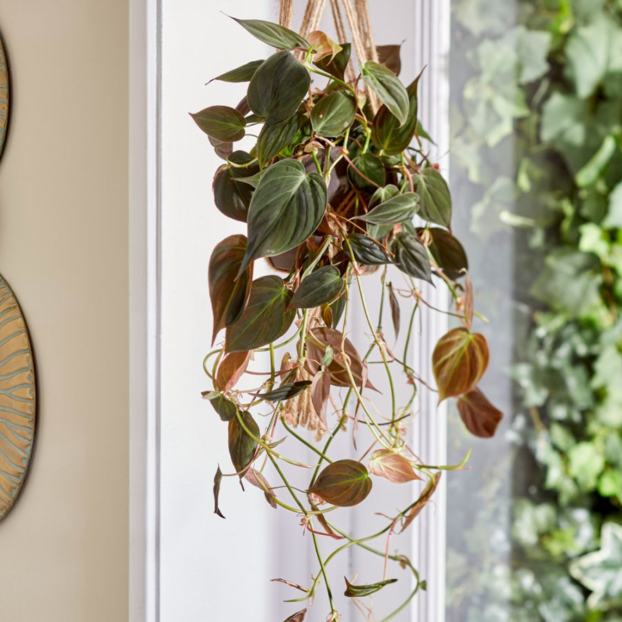 Philodendron scandens 'Micans' | 15cm Hanging Pot | By Plant Theory