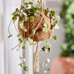 String of Hearts | Ceropegia woodii | 12cm Hanging Pot | By Plant Theory