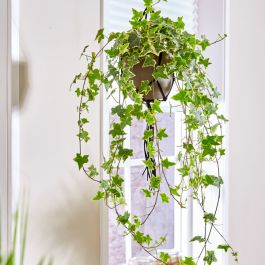 Variegated Ivy | Hedera helix | 19cm Hanging Pot | By Plant Theory
