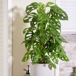 60cm Monstera Adansonii | Monkey Leaf Monstera on Moss Pole | 19cm Pot | By Plant Theory