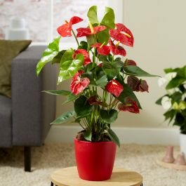Red Anthurium | 17cm Ceramic Red Pot | By Plant Theory
