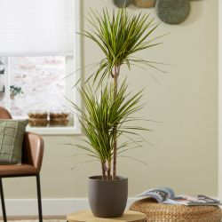 3 Cane Dracaena marginata 'Golden Dragon' | 3L Pot | By Plant Theory