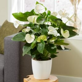 White Anthurium | 17cm Ceramic White Pot | By Plant Theory