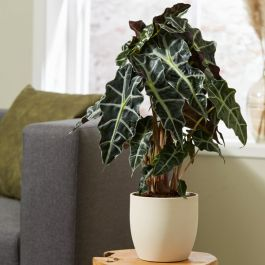 Alocasia 'Polly' | 17cm Pot | By Plant Theory