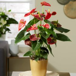 Red Anthurium | 17cm Ceramic Gold Pot | By Plant Theory