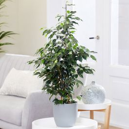 100cm Weeping Fig | Ficus benjamina 'Danielle' | 21cm Pot | By Plant Theory