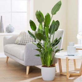 100cm Bird Of Paradise | Strelitzia reginae | 24cm Pot | By Plant Theory