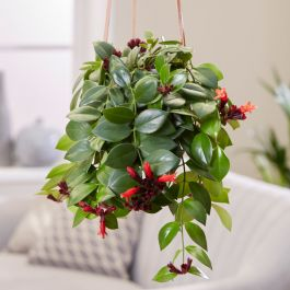 40cm Lipstick Plant | Aeschynanthus 'Mona Lisa' | 15cm Hanging Pot | By Plant Theory