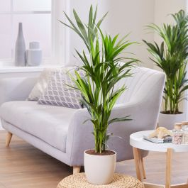 100cm Kentia Palm | Howea Forsteriana | 21cm Pot | By Plant Theory