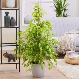 140cm Ficus benjamina 'Reginald' | 27cm Pot | By Plant Theory