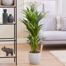 130cm Kentia Palm | Howea Forsteriana | 24cm Pot | By Plant Theory