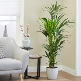 150cm Kentia Palm | Howea Forsteriana | 24cm Pot | By Plant Theory