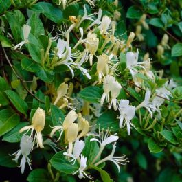 3ft Halls Japanese Honeysuckle Plant | 2.5L Pot | Lonicera Halliana