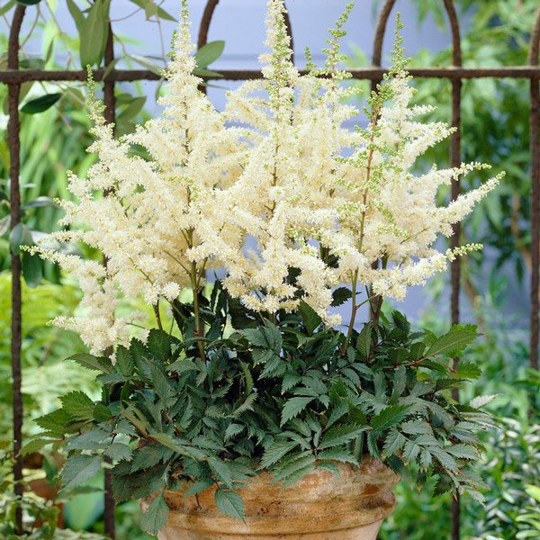A White Astilbe, a flower from the bog garden
