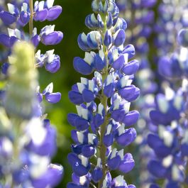30cm Lupin 'Governor Blue' | 3L Pot