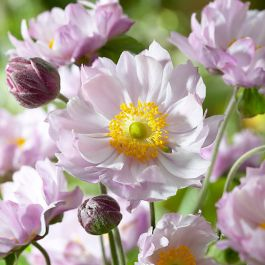 Anemone 'Frilly Knickers' | 3L Pot