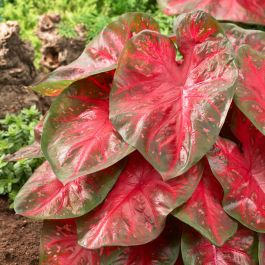 60cm Caladium 'Brandy Wine' | 17cm Pot  | By Plant Theory