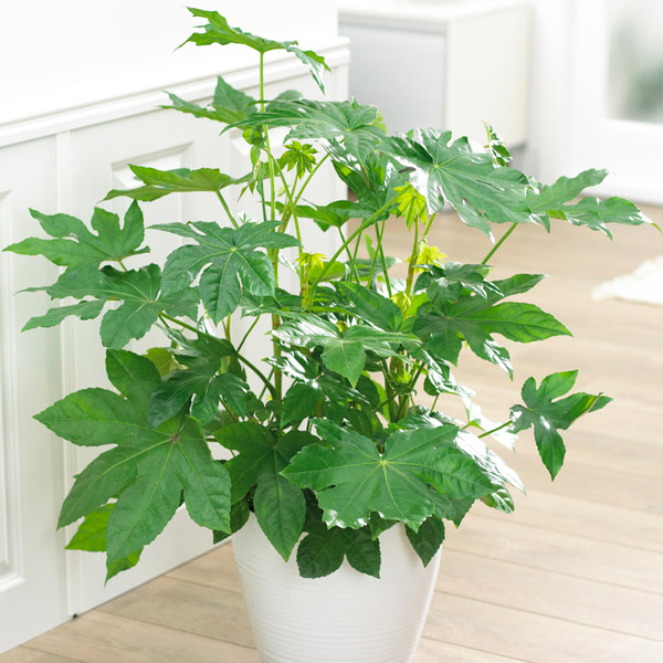 30cm Fatsia Japonica | Paperplant | Japanese Aralia | 5L Pot | By Plant Theory