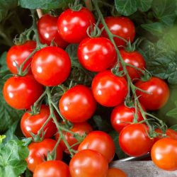 Tomato 'Supersweet' | Grafted | 10cm Pot | By Gourmet Vegetables