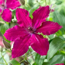 Clematis 'Ruby Wedding' | 2.5L Pot