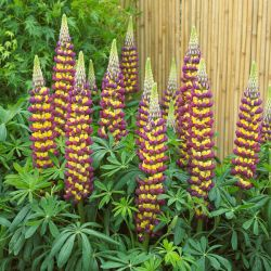 Lupin 'Manhattan Lights' | 5L Pot | West Country