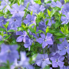 Vinca minor Bowles Variety | 2 Litre Pot