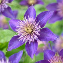 Clematis 'Multi Blue' | 2.5L Pot