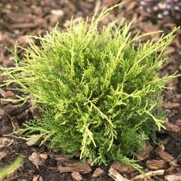 Juniperus x media Carbury Gold | 1L