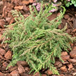 Juniperus communis Green Carpet | 1L