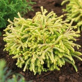 Thuja occidentalis Golden Tuffet | 9cm