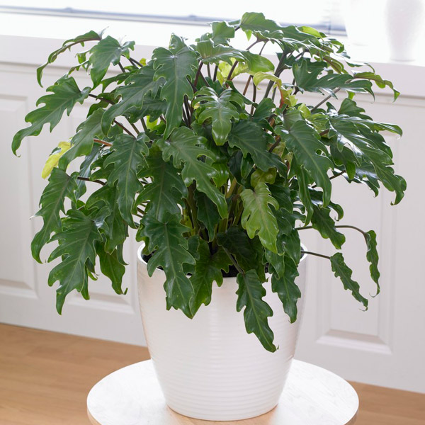 60cm Philodendron Xanadu | 4L Pot | By Plant Theory