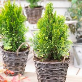 Thuja occidentalis Golden Smaragd | 1L