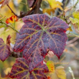 Vitis 'Brant' | Ornamental Grape Vine | 2.5L Pot