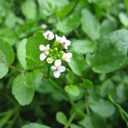 1L Watercress Rorippa nasturtium aquaticum - Cut Back