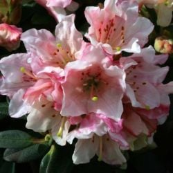 1ft Dwarf Rhododendron 'Wee Bee' | 3L Pot