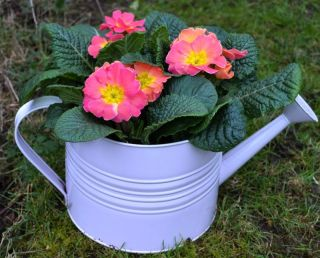 Large Zinc Watering Can with Primrose