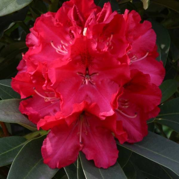 2ft Rhododendron 'Wilgens Ruby' | 7.5L Pot | Rhododendron Hybrid