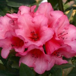 1ft Dwarf Rhododendron 'Winsome' | 3L Pot