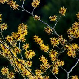 5ft Pallida Witch Hazel | 12L Pot | Hamamelis x int 'Pallida'