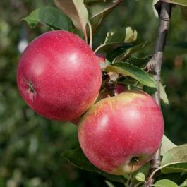 5ft 'Worcester Pearmain' Dessert Apple Tree | M26 Semi Dwarfing Rootstock | 9L Pot
