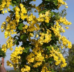 4ft Laburnum anagyroides Yellow Rocket® | 7L Pot | By Frank P Matthews™