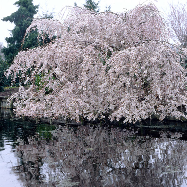 7ft Prunus yedoensis 'Shidare-Yoshino' Cherry Blossom Tree | Half Standard | 18L Pot